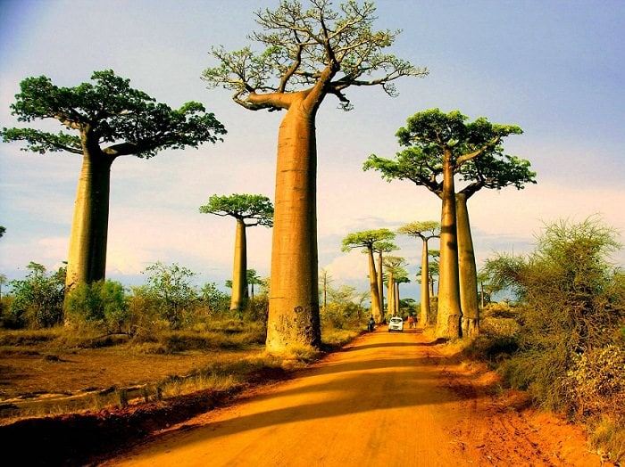 baobabs of the world the upside down trees of madagascar africa and australia