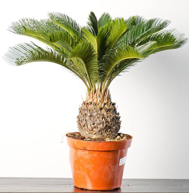 how to grow sago palm in pot