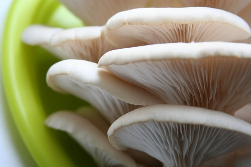 growing oyster mushroom in coffee grounds