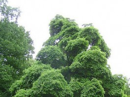 growing sassafras tree