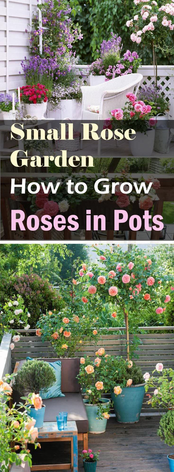 Roses In Garden: Growing Roses In Containers (Balcony