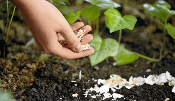 8 Excellent Ideas for Using Eggshells in the Garden