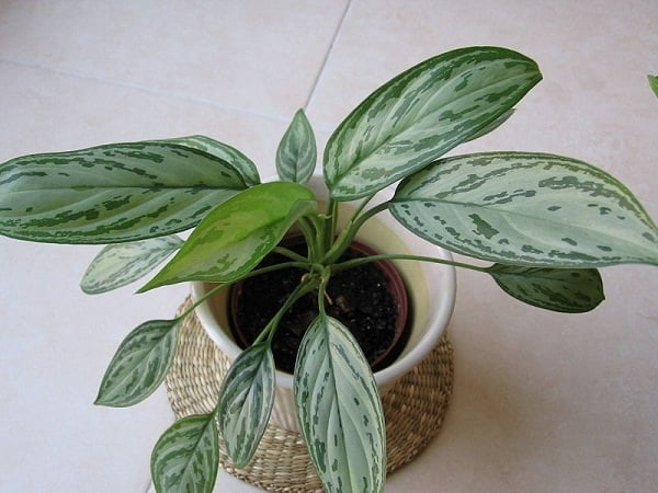 Aglaonema Silver_Queen_mini