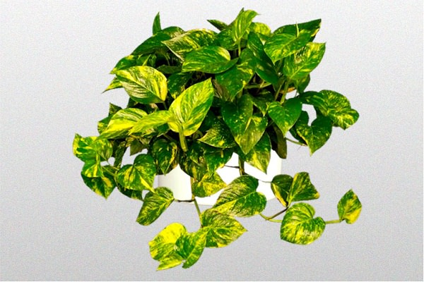 Devils Ivy-Golden Pothos_mini
