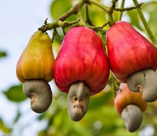 cashew nut growing