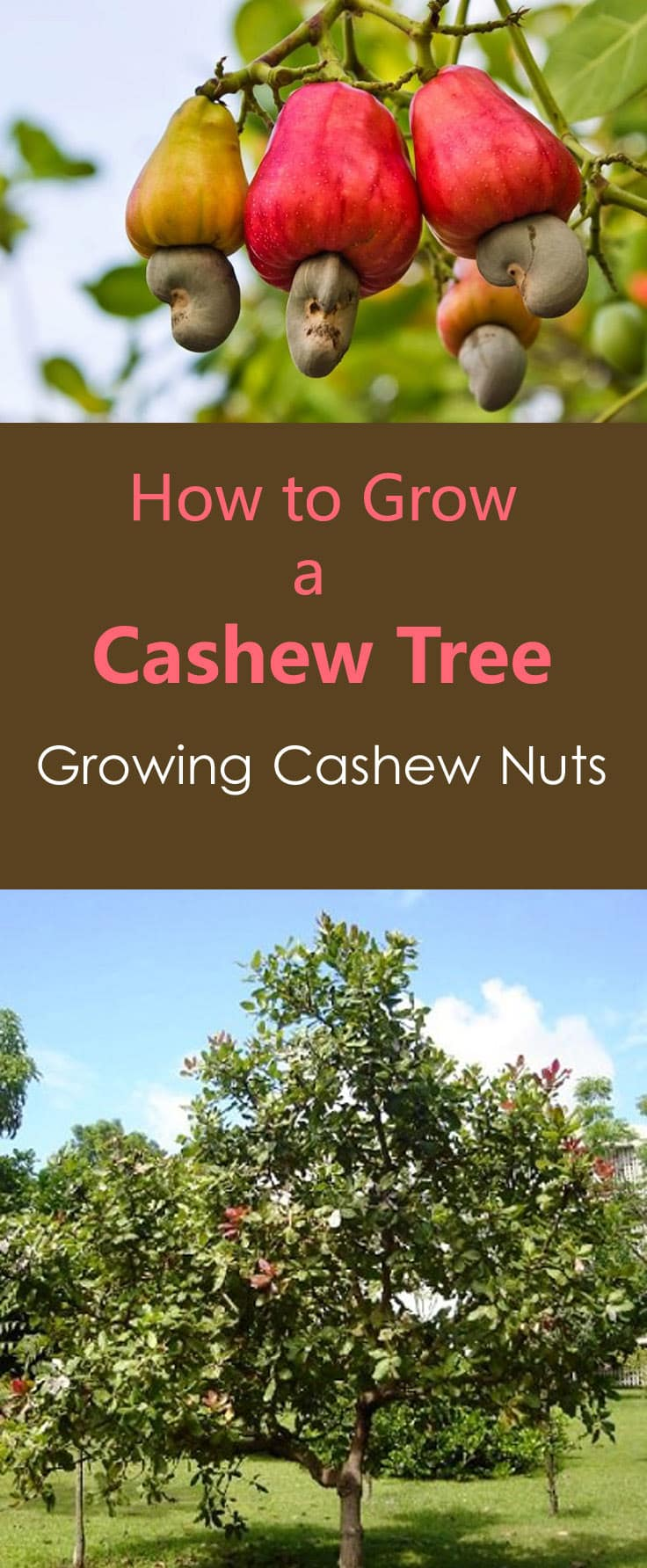 How To Grow A Cashew Tree Growing Cashew Nuts