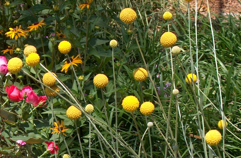 How To Grow Craspedia Growing Billy Buttons Balcony Garden Web