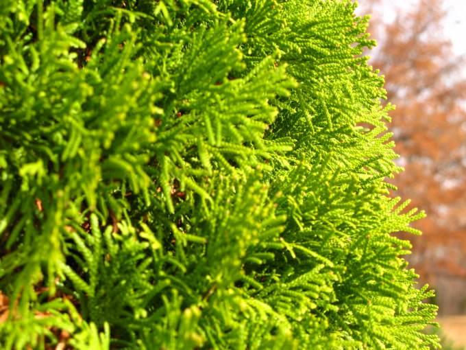 Planting av thuja