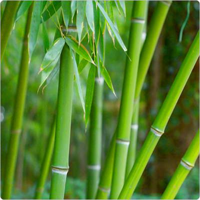 Bamboo See These Planting