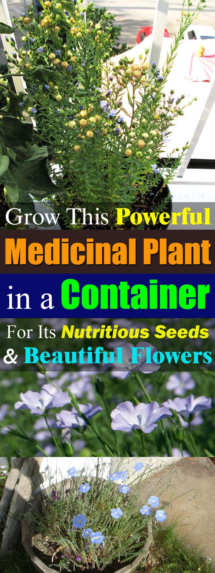 Not only for the Flax seeds, but you can also grow Flax for its beautiful blue flowers. Growing this plant is not difficult in pots!