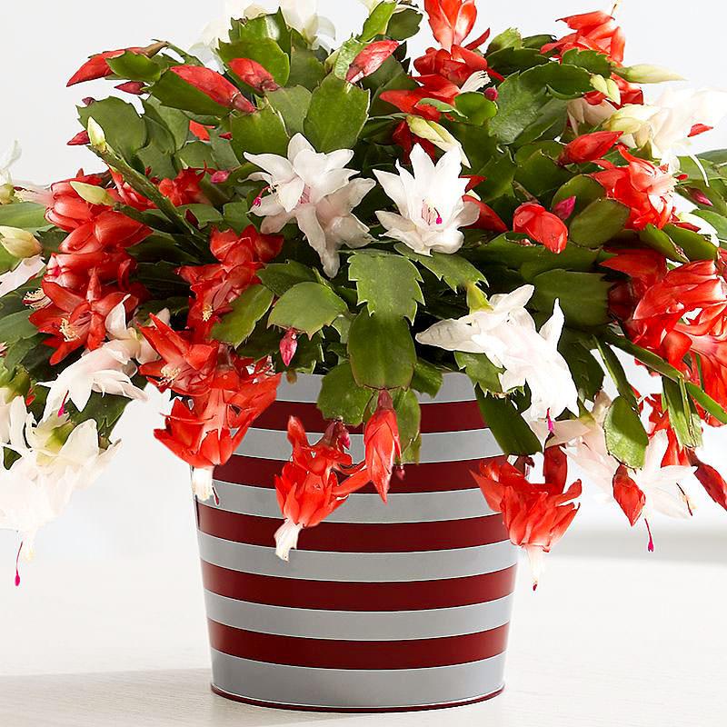 How to Make a Christmas Cactus Bloom at Christmas