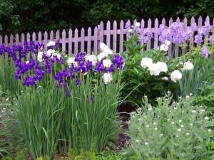 iris companion plants