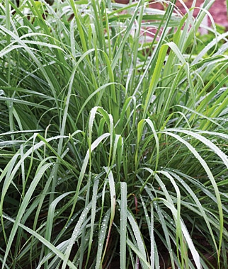 How To Grow Lemongrass From Seed Growing Instructions