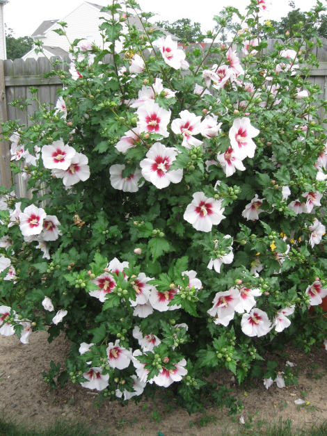 Planting Rose Of Sharon