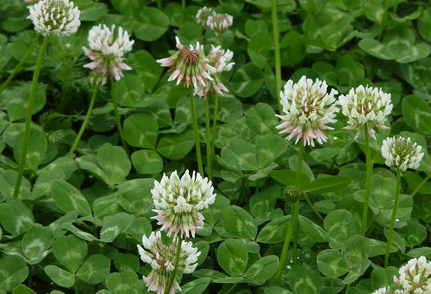 Planting White Clover How To Grow