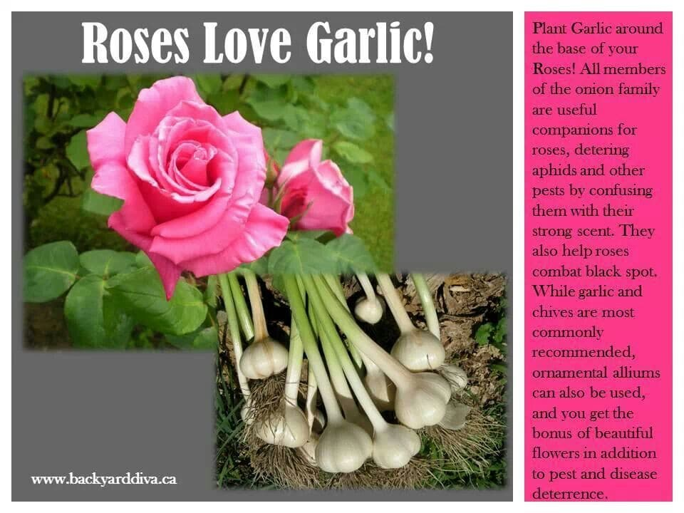 38039c6765d52a6cefd873a77d7fadce 30 diagrams to make you master in growing roses balcony garden web
