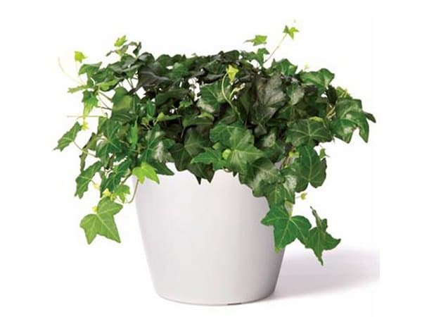 English-ivy Ivy Hedera Helix House Plant on lavender plant, sage ivy plant, ground ivy plant, geranium ivy plant, black swedish ivy plant, variegated english ivy plant, gold plant, horse chestnut plant, outdoor english ivy plant, macadamia nut plant,
