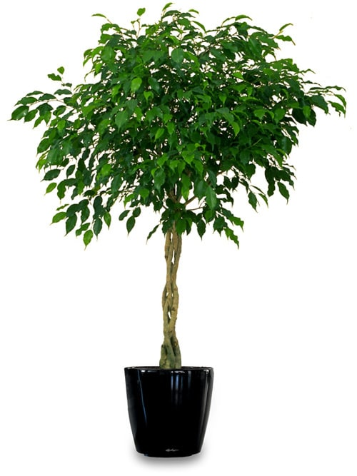 Best Fertilizer For Indoor Ficus Cromalinsupport