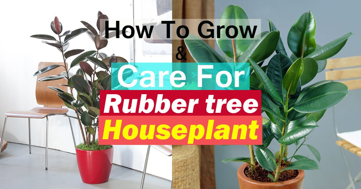 Rubber Tree Plant Care Growing Houseplant Balcony Garden Web