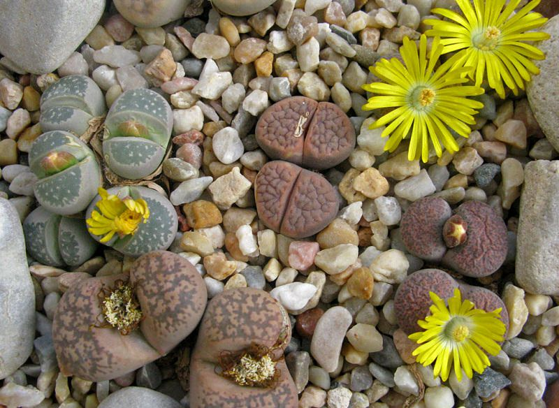 Lithops Care Lithops Growing And Planting Guide