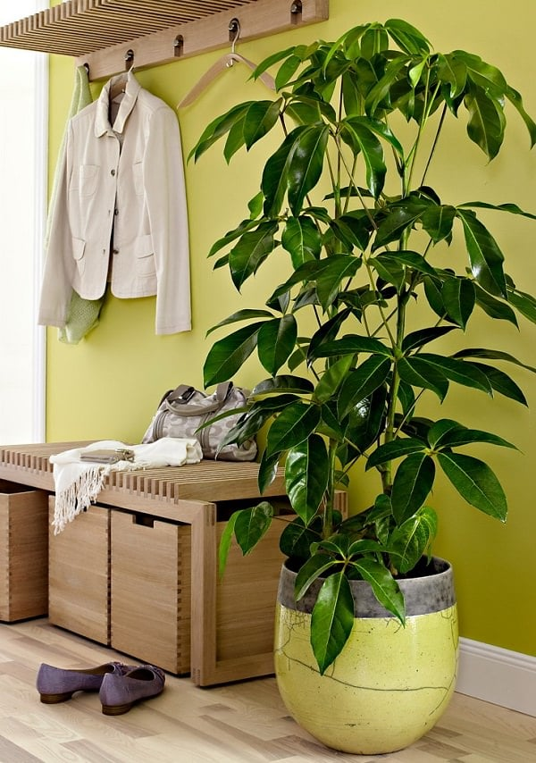 Merveilleux Very Common In Offices And Homes, This Beautiful Tropical Tree Becomes A  Low Care And Tall Houseplant When Grown Indoors.