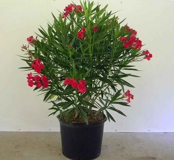 nerium-oleander-cardinal Oleander As Houseplant on