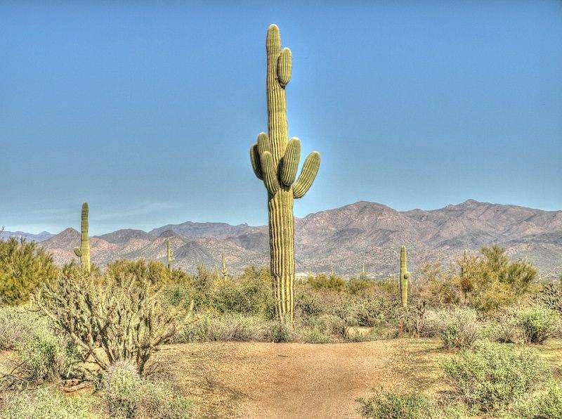 Saguaro Cactus Facts