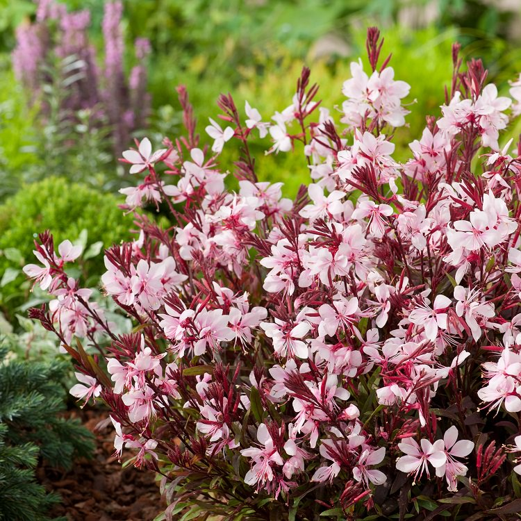 Gaura Plant Care And Growing How To Grow Gaura Balcony Garden Web