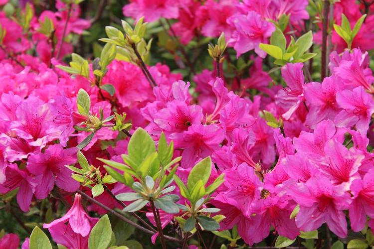 Shrubs that bloom all year year round shrubs according to season spring azalea mightylinksfo