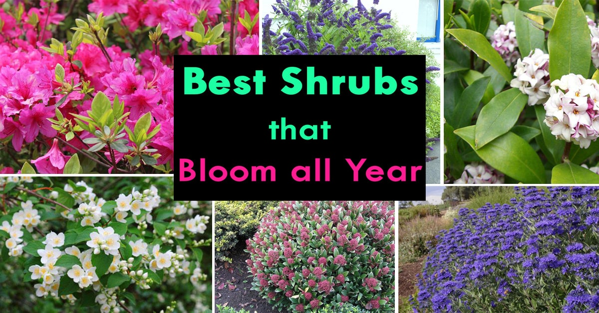 Shrubs That Bloom All Year Round According To Season Balcony Garden Web