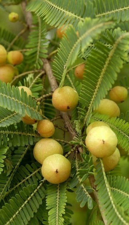 Growing Amla Tree How To Grow Indian Gooseberry