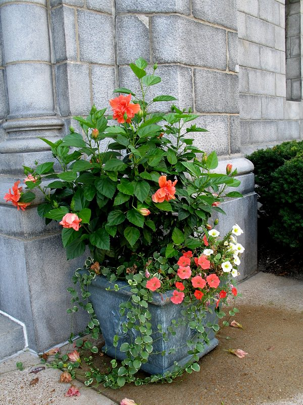 44 Best Shrubs for Containers   Best Container Gardening ...