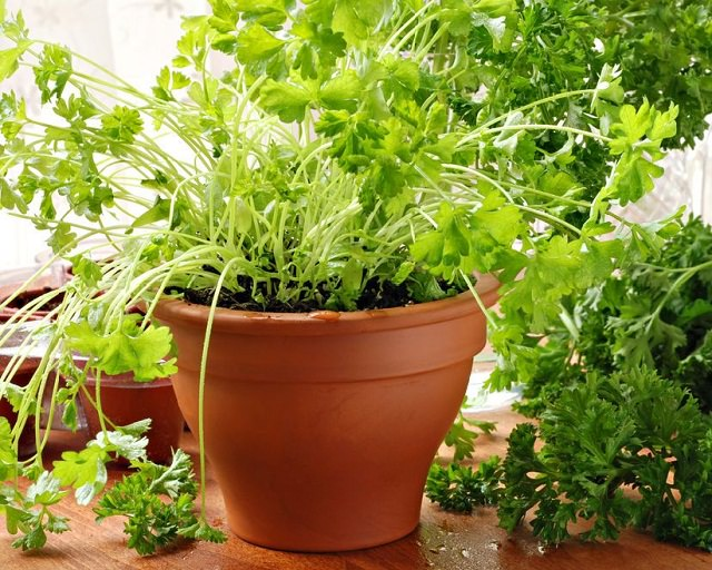 Best Herbs Grow Indoors Indoor Balcony Garden Web