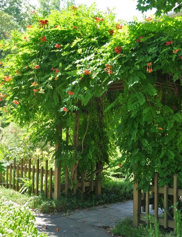 Wonderful Different Types Of Climbing Plants Part - 8: Climbing Plants For Arbors