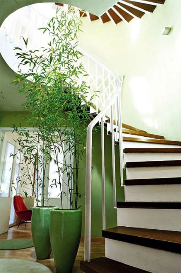 tall-bamboo-houseplant Ponytail Palm House Plant on elephant bush house plant, tall upright indoor plant, canary island date palm house plant, variegated ivy house plant, royal palm house plant, kentia palm house plant, king palm house plant, cast iron plant house plant, zinnia house plant, sage house plant, peach house plant, ponytail plant problems, ponytail plant care tips, ponytail bottle plant, bromeliads house plant, windmill palm house plant, periwinkle house plant, morning glory house plant, dracaena house plant, ponytail plant care indoor plants,