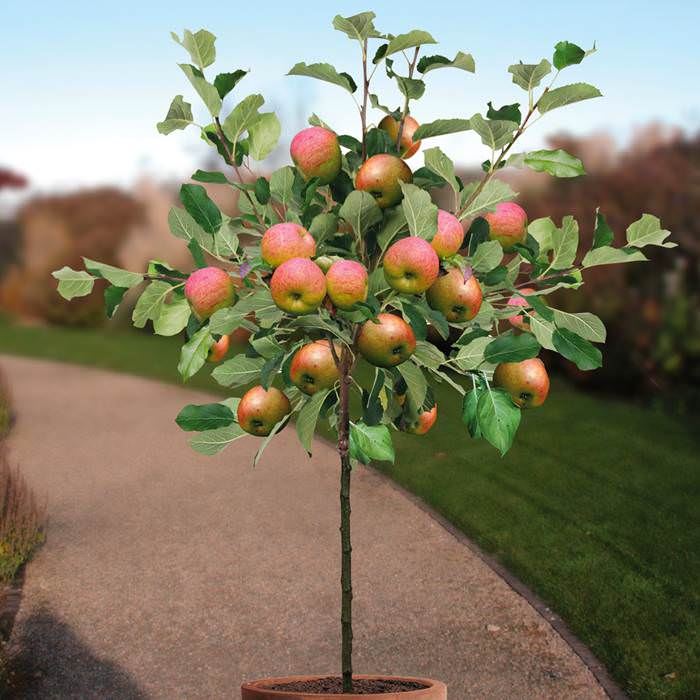 Growing Apple Trees in Pots | How to Grow apple tree in a ...