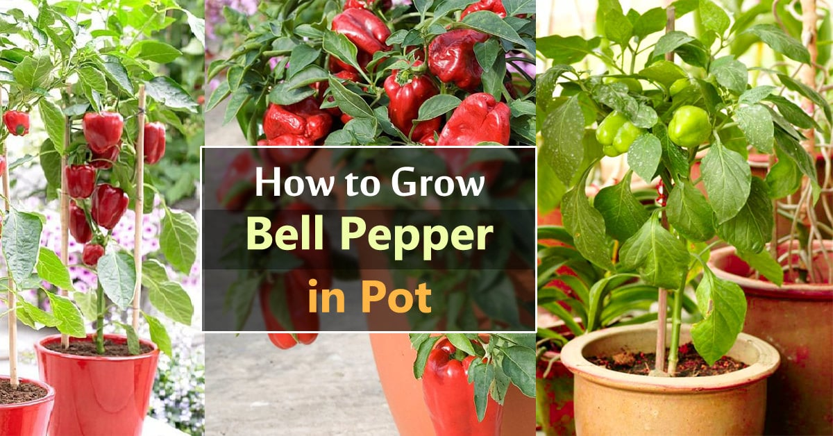 Growing Bell Peppers In Pots How To Grow Containers Care Balcony Garden Web