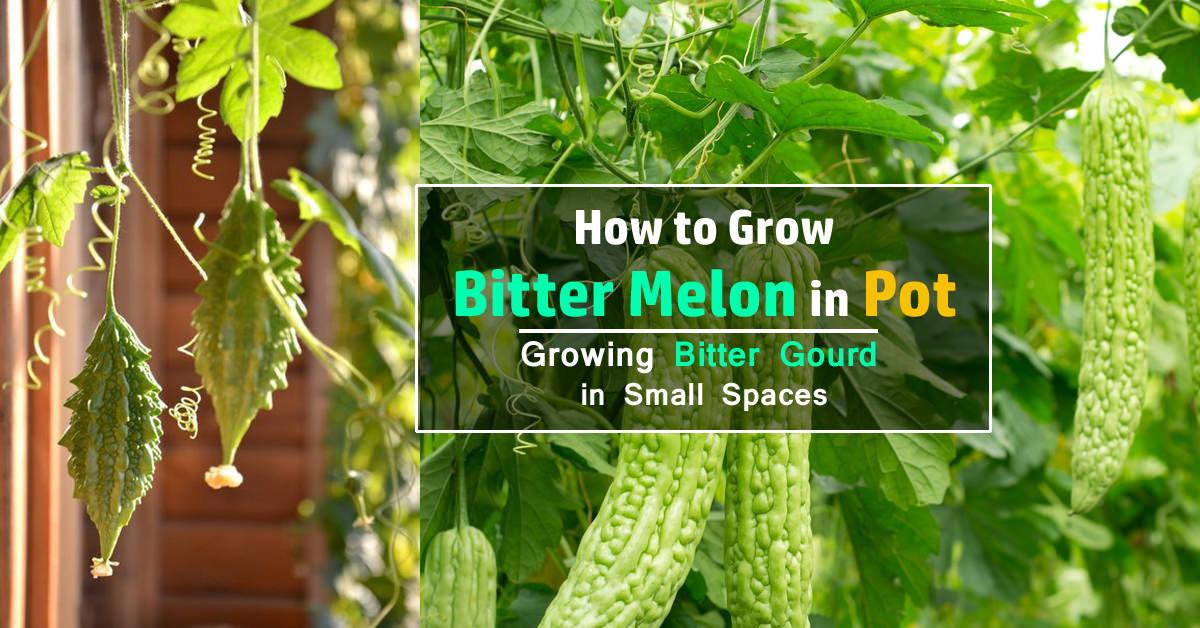How To Grow Bitter Melon Growing Bitter Gourd In Pots