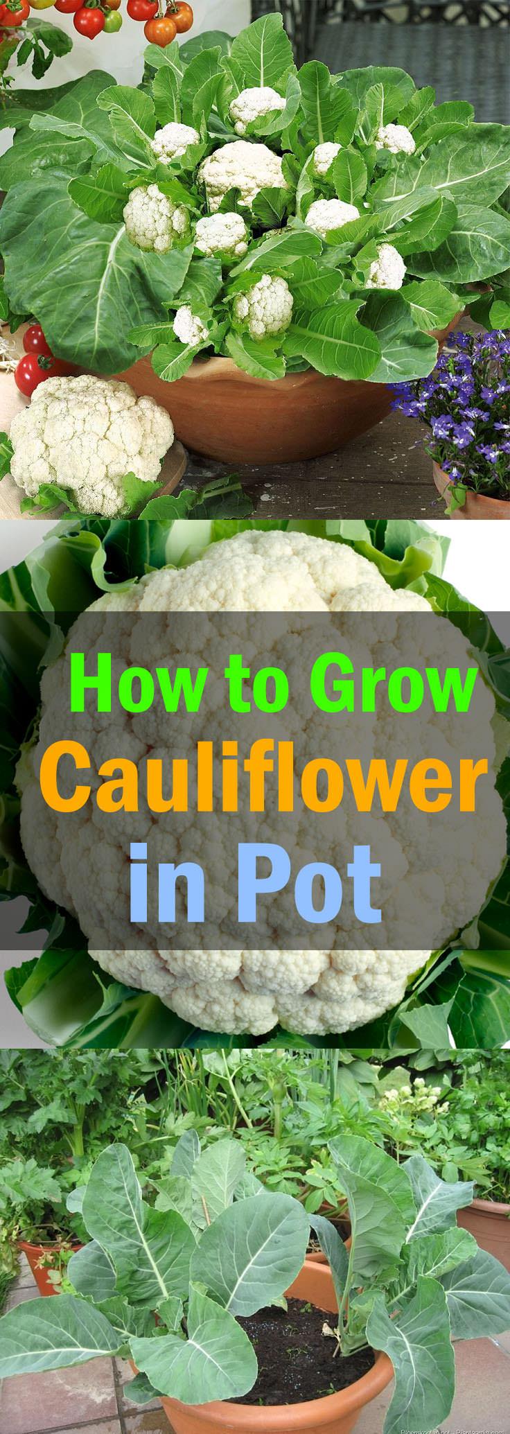 Growing cauliflower: planting and care. The best varieties of cauliflower 7
