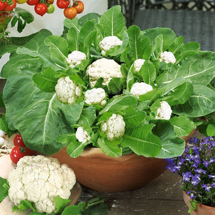 Best Fruits To Grow In Pots: Growing Cauliflower In Containers