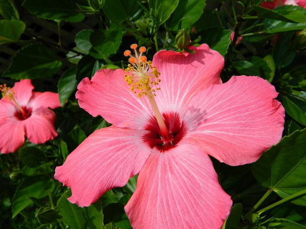 14 cold hardy tropical plants to create a tropical garden in cold tropical flowers mightylinksfo