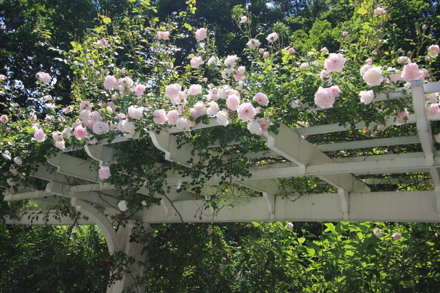 19 best pergola plants climbing plants for pergolas and arbors they are the favorite plants of most gardeners as they produce a feeling of being special tranquility nostalgia romance and happiness climbing mightylinksfo