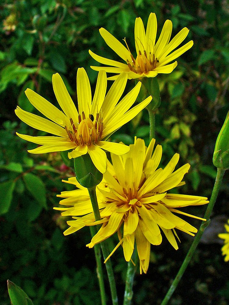 Best chocolate scented flowers plants and flowers that smell like hispanica is too little known since most appreciate only the edible lower part of the plant namely the root its dandelion like large yellow blooms mightylinksfo