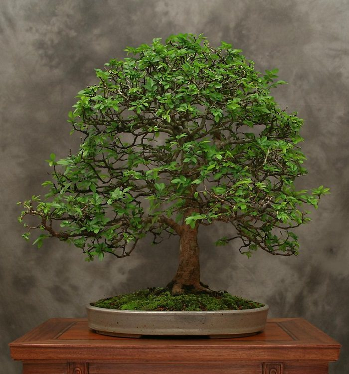 Chinese elm bonsai 3