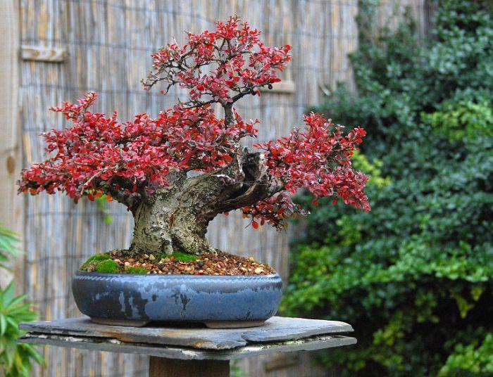 Cotoneaster horizontalis bonsai 1