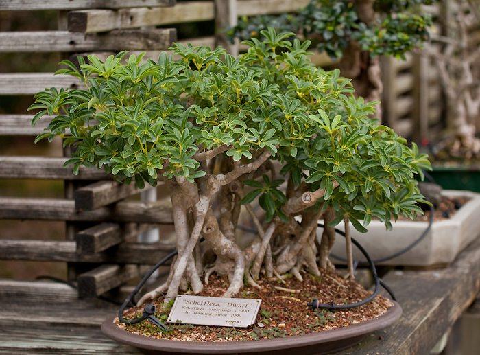 Dwarf Schefflera bonsai 1