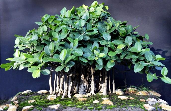Ficus Benghalensis Bonsai 2