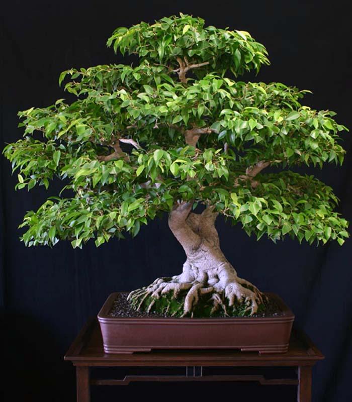 22 best trees for bonsai best bonsai plants balcony garden web. Black Bedroom Furniture Sets. Home Design Ideas