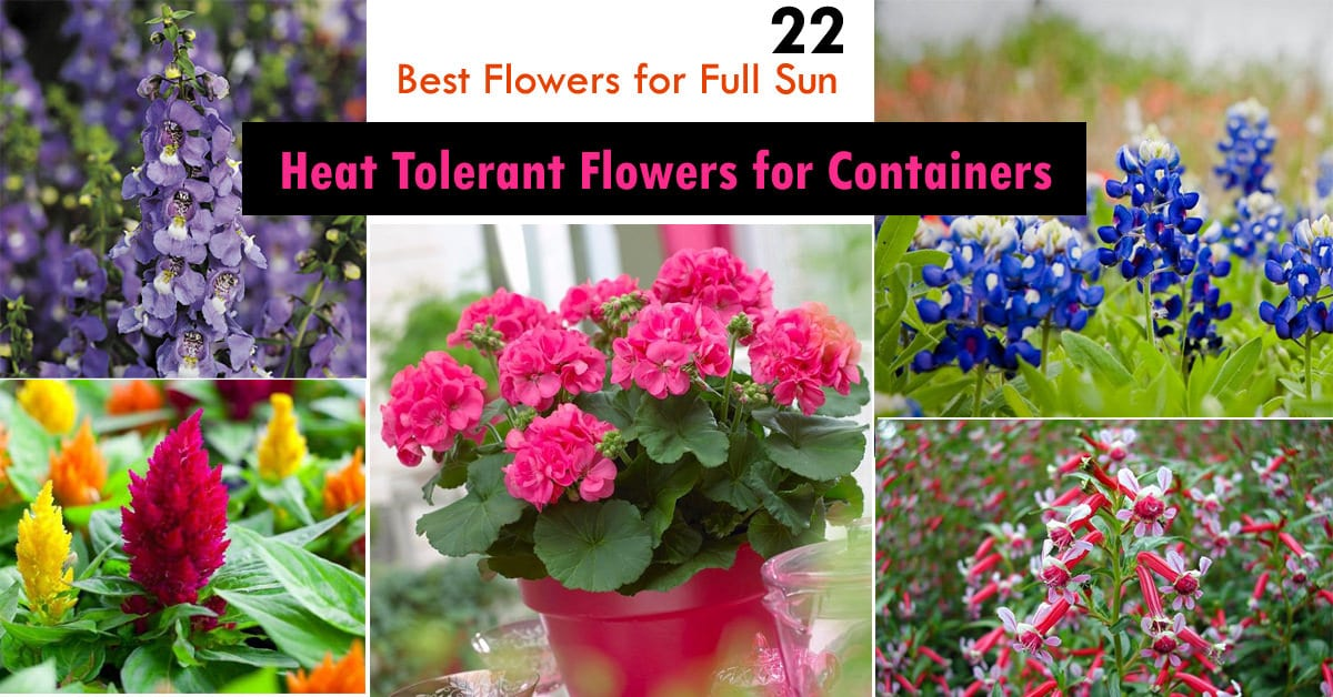 22 Best Flowers For Full Sun Heat Tolerant Containers Balcony Garden Web