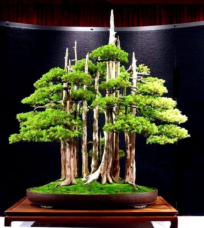 Juniper bonsai 1